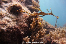 leafy seadragon by Daniel Blechynden 